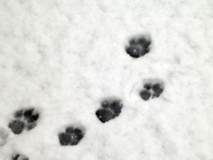 pawprints-in-snow