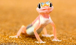 wide-eyed-gecko