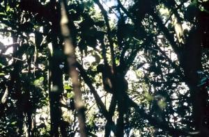 lemurs-in-trees