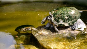 sylverblaque-turtles-covered-in-moss