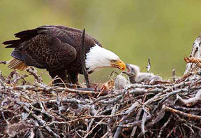 bald-eagle-nest