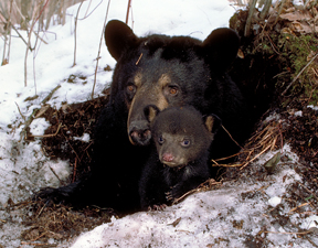 black-bear-with-cub