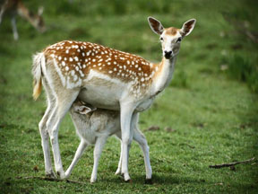 deer_and_fawn