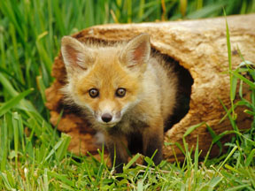 red-fox-pup