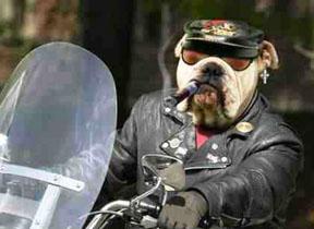 biker-bulldog