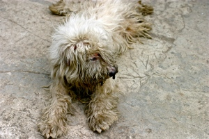 sylverblaque-cuba-dog