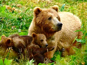 bear-with-cubs