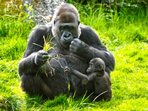 gorilla-with-young