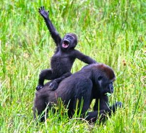 gorillas-africa