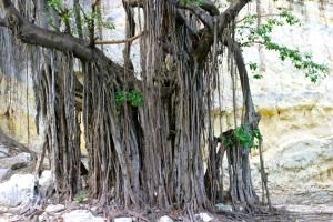 sylverblaque-cuba-ceiba-tree
