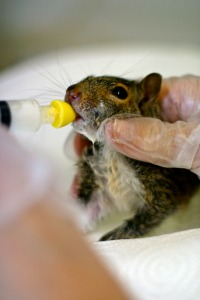 sylverblaque-feeding-baby-squirrel