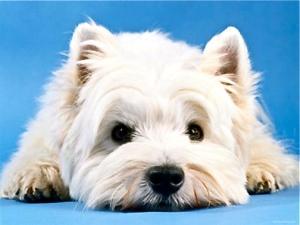 white-terrier