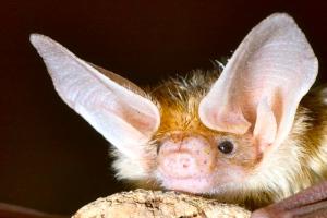 bat-ears