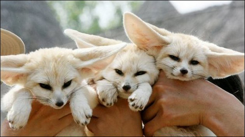 fennec-foxes