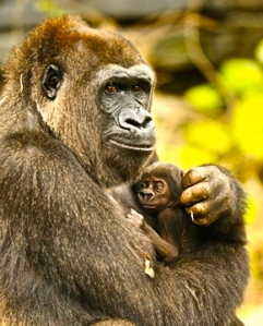mother-gorilla-holding-baby