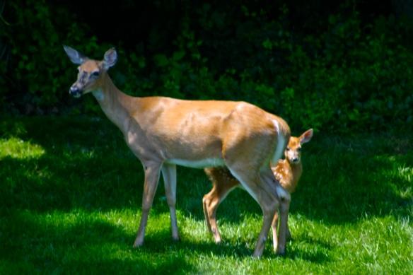 sylverblaque-doe-with-fawn