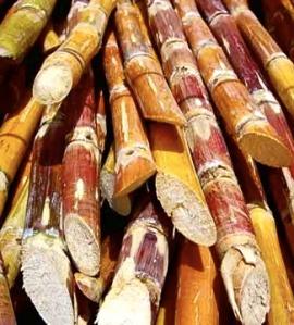 cuba-sugar-cane