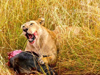 lioness-at-a-kill